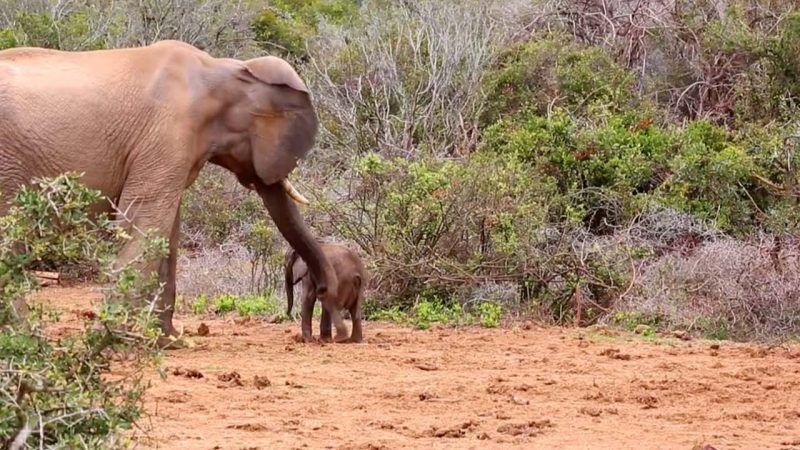 Ελέφαντας τα έβαλε με ένα μικρό, αλλά υπολόγιζε χωρίς τη… μαμά του!
