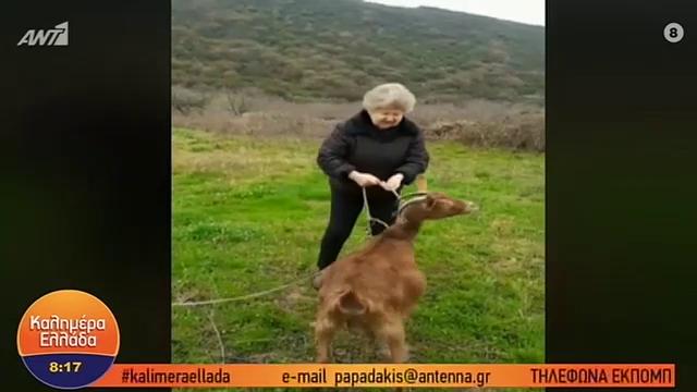 Γιαγιά βγάζει την κατσίκα της βόλτα kai τα